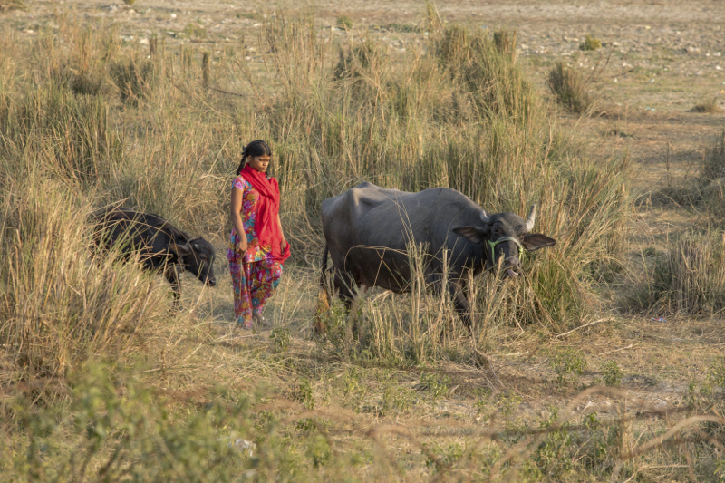 One girl & her water buffalo, Agra, Uttar Pradesh, India