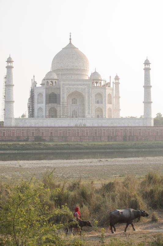 Girl herding water buffalo behind the Taj Mahal, Agra, Uttar Pradesh, India