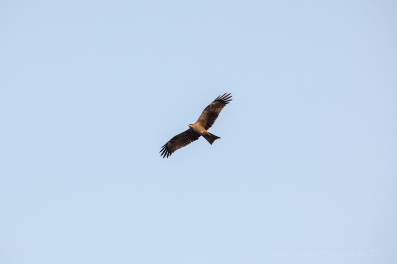 Black kite in flight, Agra, Uttar Pradesh, India