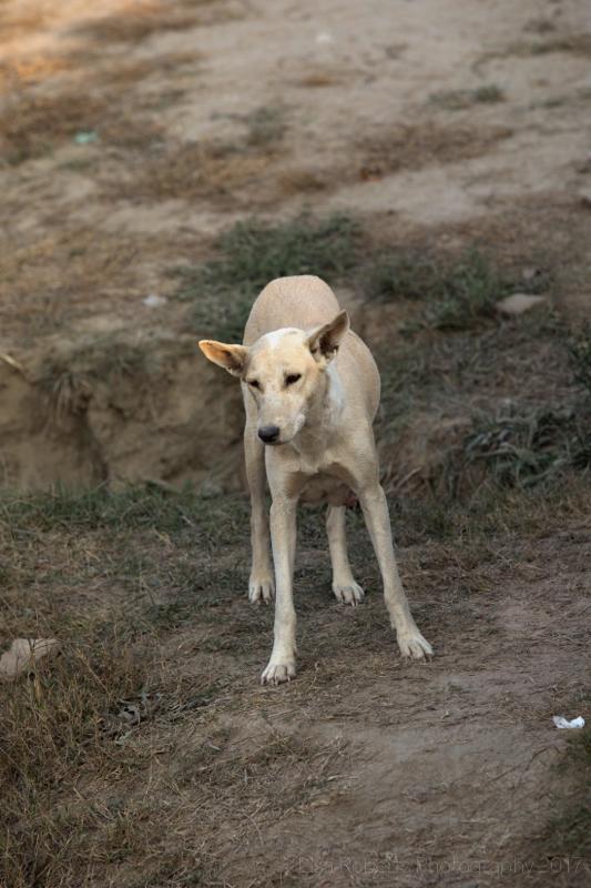 Street dog 2, Agra, Uttar Pradesh, India