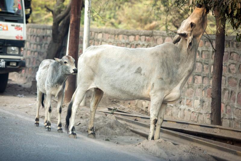 Cow and calf, Agra, Uttar Pradesh, India