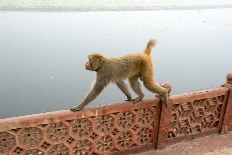 Rhesus Macaque monkey at the Taj Mahal, Agra, Uttar Pradesh, India