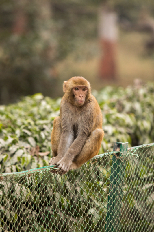 Rhesus macaque, Agra, Uttar Pradesh, India