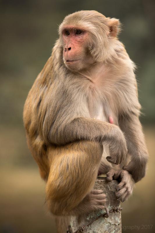Rhesus Macaque 2, Agra, Uttar Pradesh, India