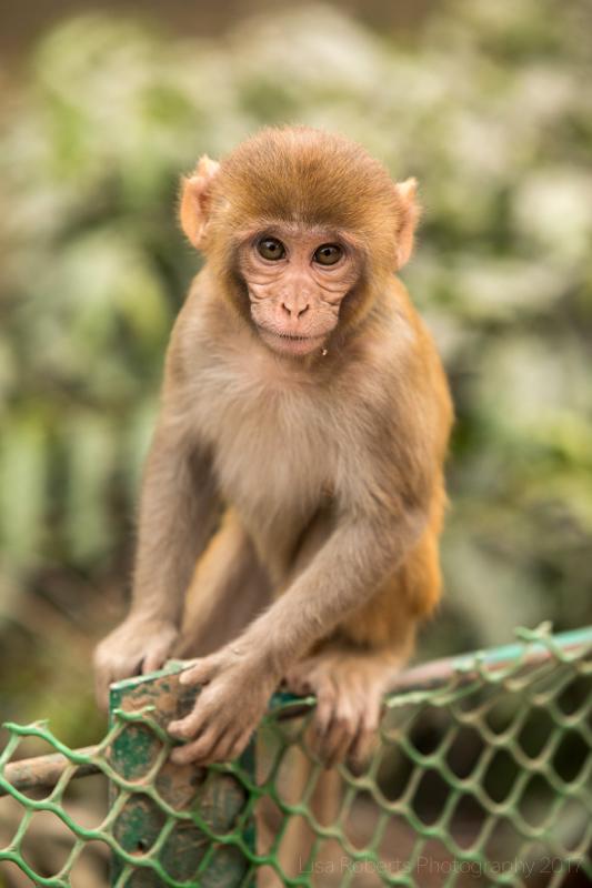 Infant Rhesus Macaque, Agra, Uttar Pradesh, India