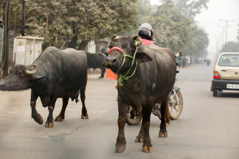 Water Buffalo roaming, Agra, Uttar Pradesh, India