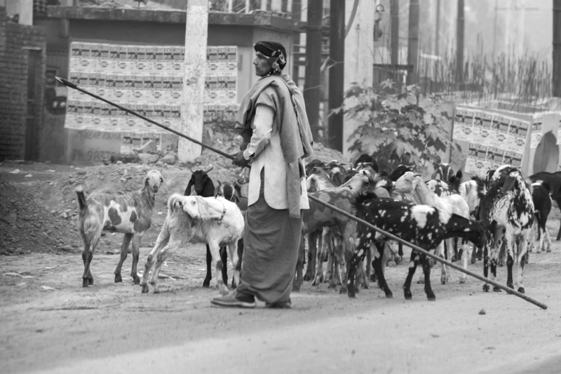 Goat Herd,Hanging on! Agra, Uttar Pradesh, India