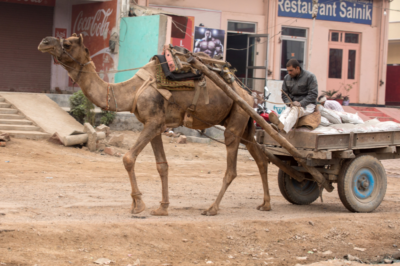 Camel and cart, Mathura, Uttar Pradesh, India