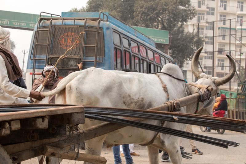 Driving Oxen cart,Man in turban,Mathura, Uttar Pradesh, India