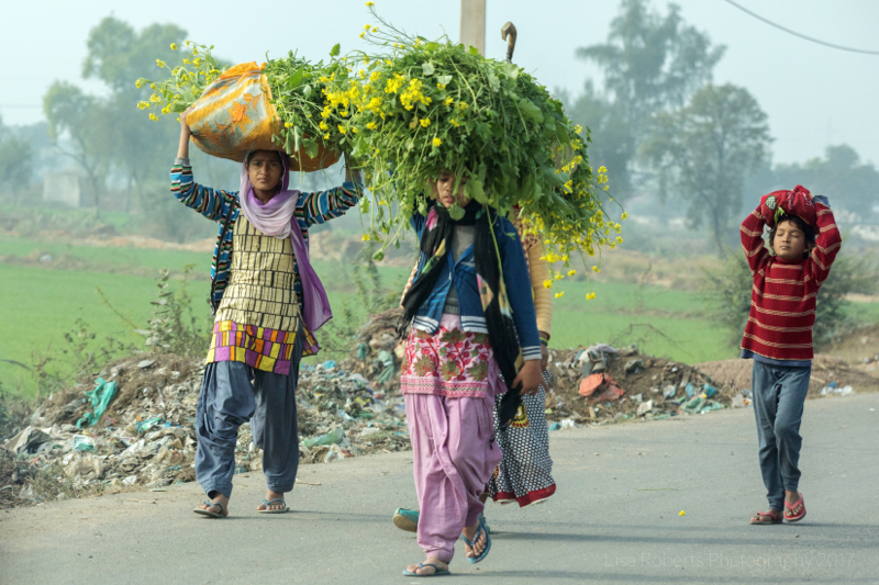 Women carrying harvested mustard flowers on their heads, Palwal, India