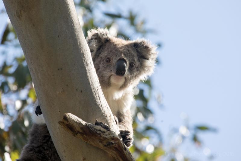Wild koala,Victoria, Australia