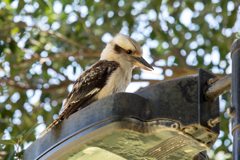 Wild kuckaburro, Taronga Zoo, Sydney,Australia
