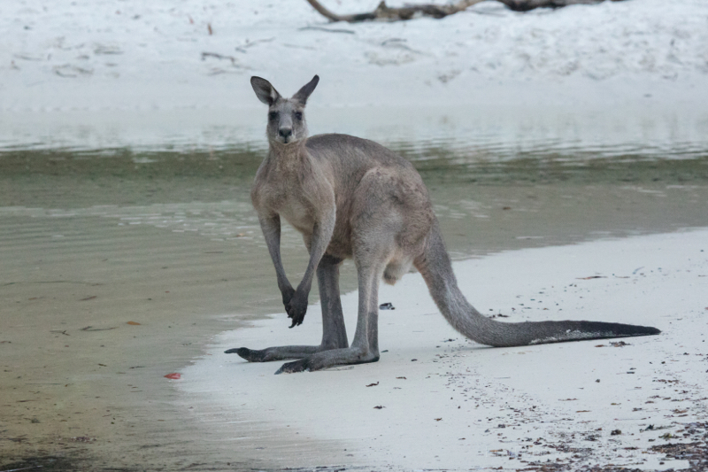 Eastern Grey Kangaroos, Jervis Bay,Boodereee National Park, NSW,Australia