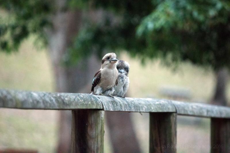 Kookaburras,Jervis Bay,Boodereee National Park, NSW,Australia