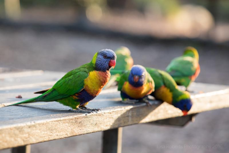Rainbow Lorikeets,Boodereee National Park, NSW,Australia