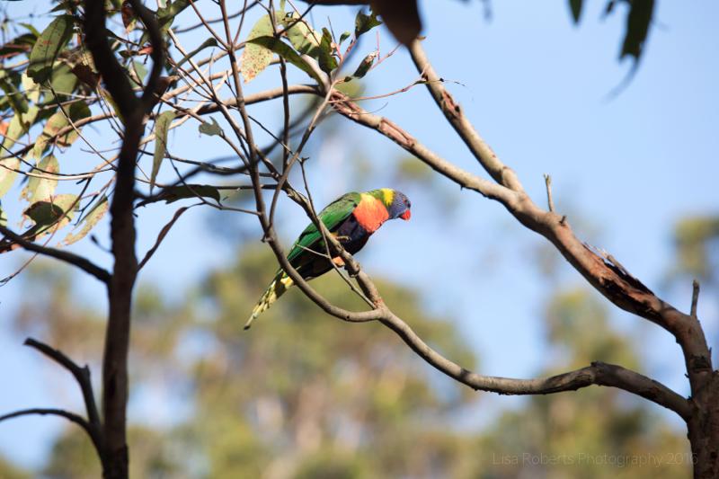 Rainbow Lorikeet,Boodereee National Park, NSW,Australia