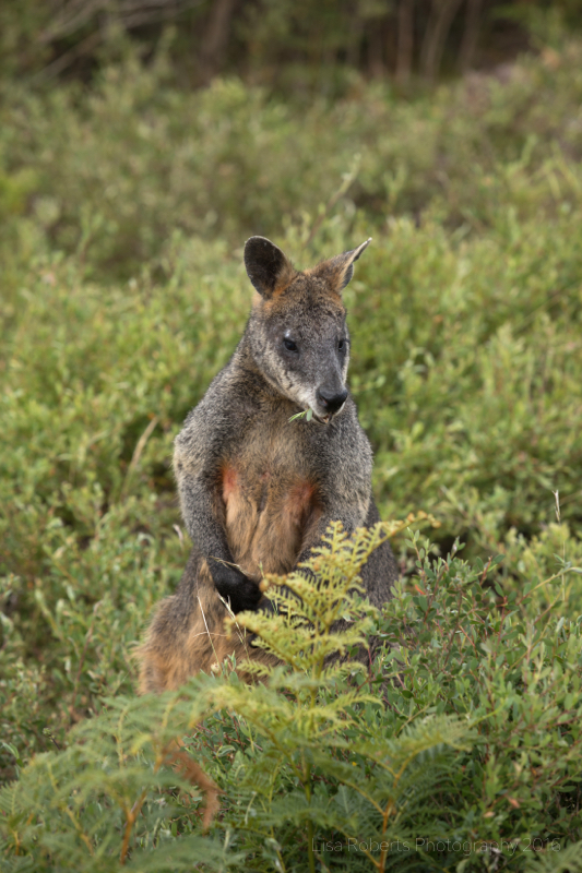 Swamp Wallaby,Western Grey Kangaroo, Wilson's Promontary, Victoria, Australia