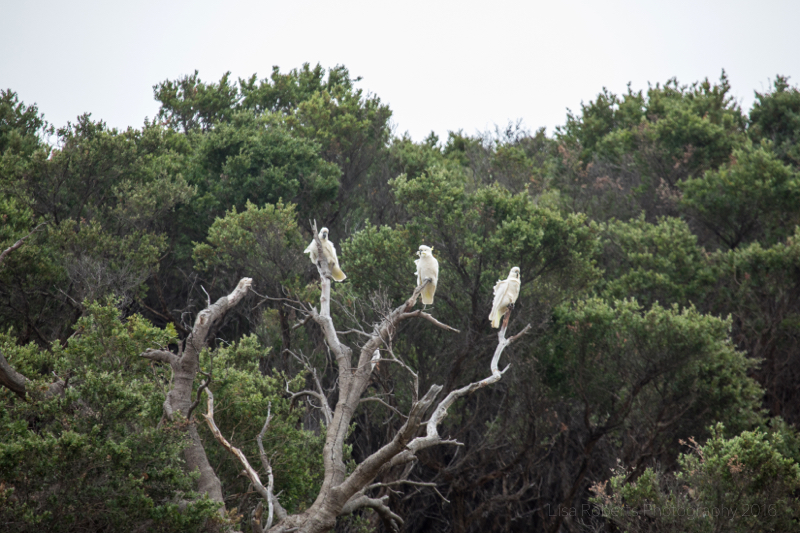 Cockatoos, Tidal River Beach,Wilson's Promontary, Victoria, Australia