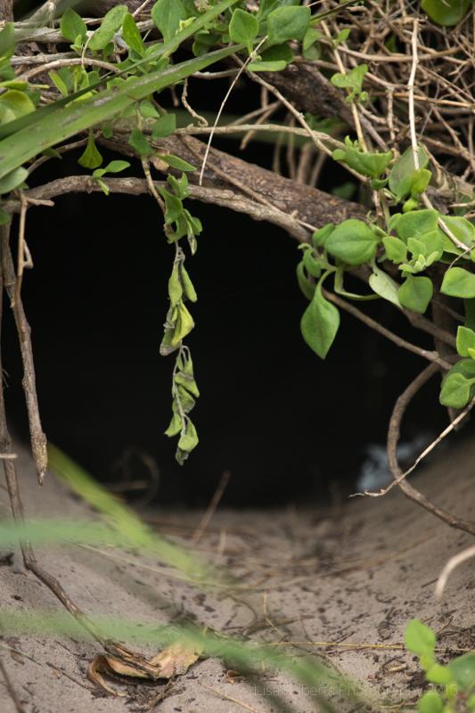 Wombat Burrow,Wilson's Promontary, Victoria, Australia