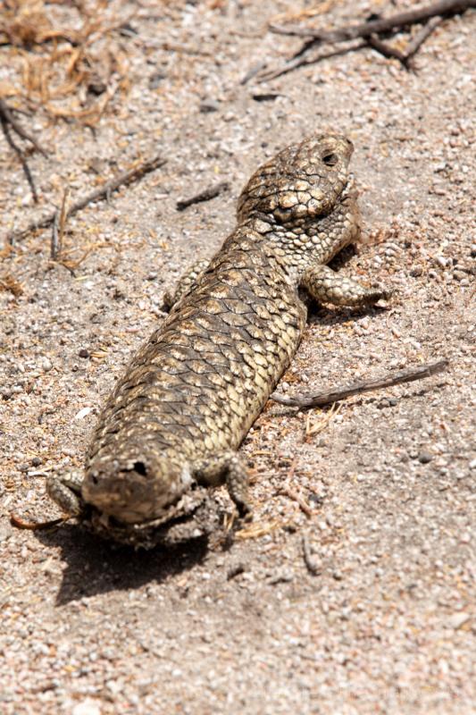Carcass of Shingleback Lizard (Stumpy-tailed lizard) Coorong National Park, South Australia