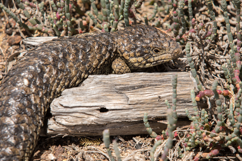 Shingleback Lizard (Stumpy-tailed lizard) Coorong National Park, South Australia