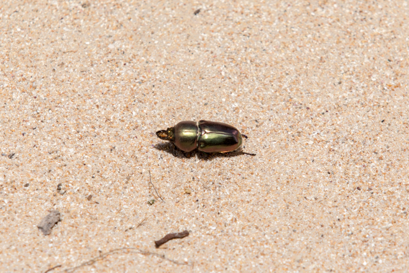 Jewel Beetle, Coorong National Park, South Australia