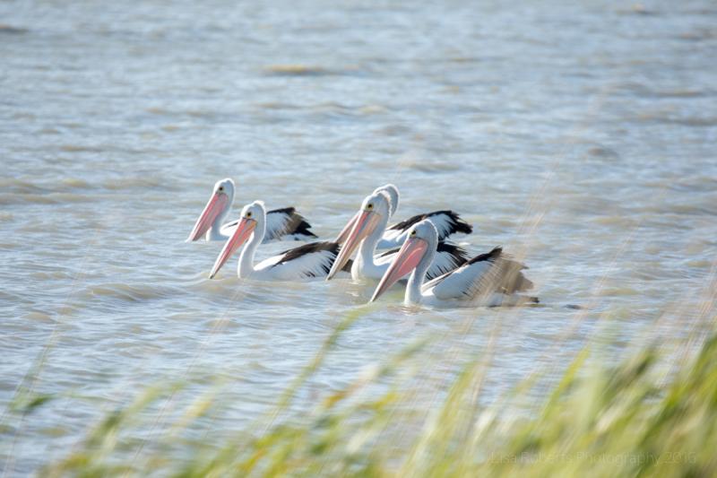 Pelicans on Lake Albert, South Australia