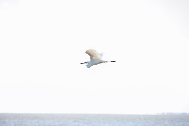 Pelican in flight,Pelicans on Lake Albert, South Australia