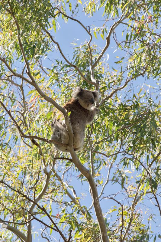 Wild koala & her joey, Adelaide, South AustraliaAdelaide, South Australia