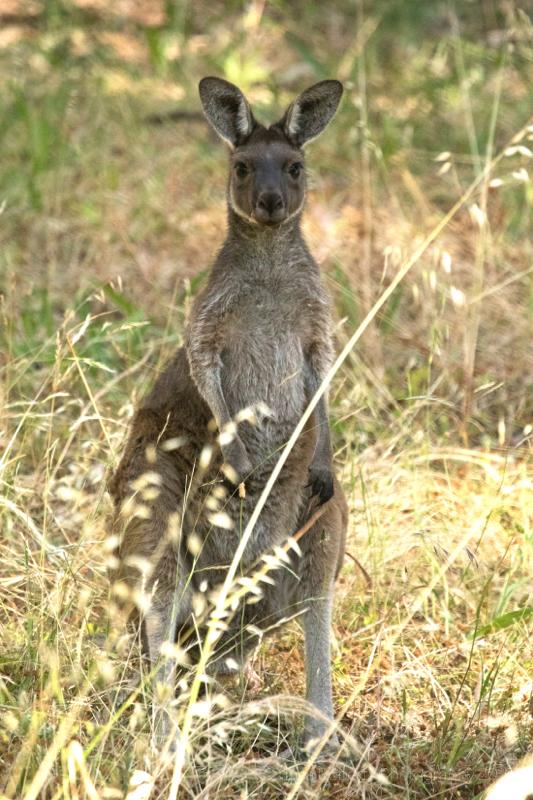 Western Grey Kangaroo, Adelaide, South Australia
