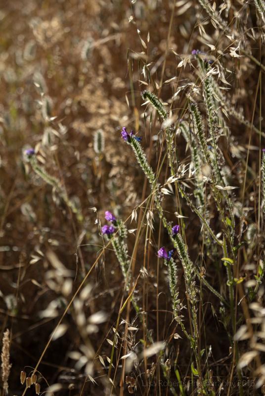 Wild flowers, Adelaide, South Australia