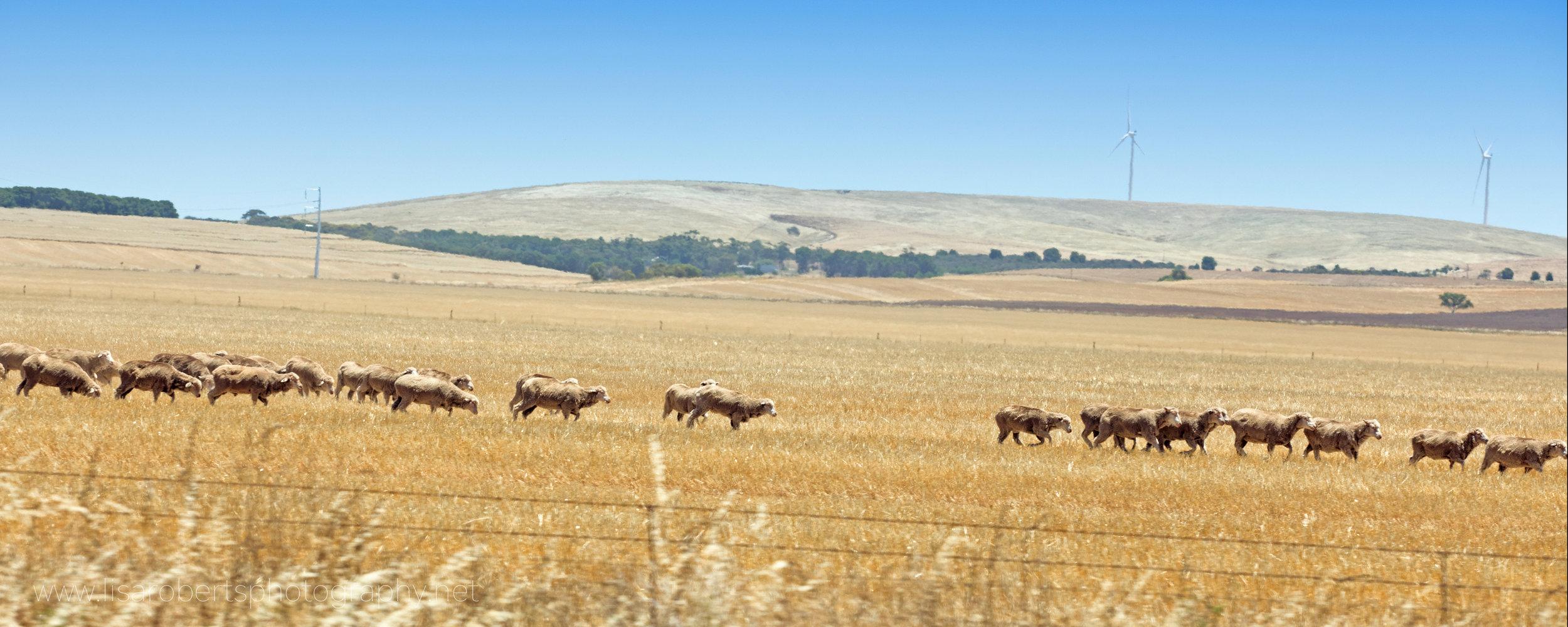 Sheep! South Australia