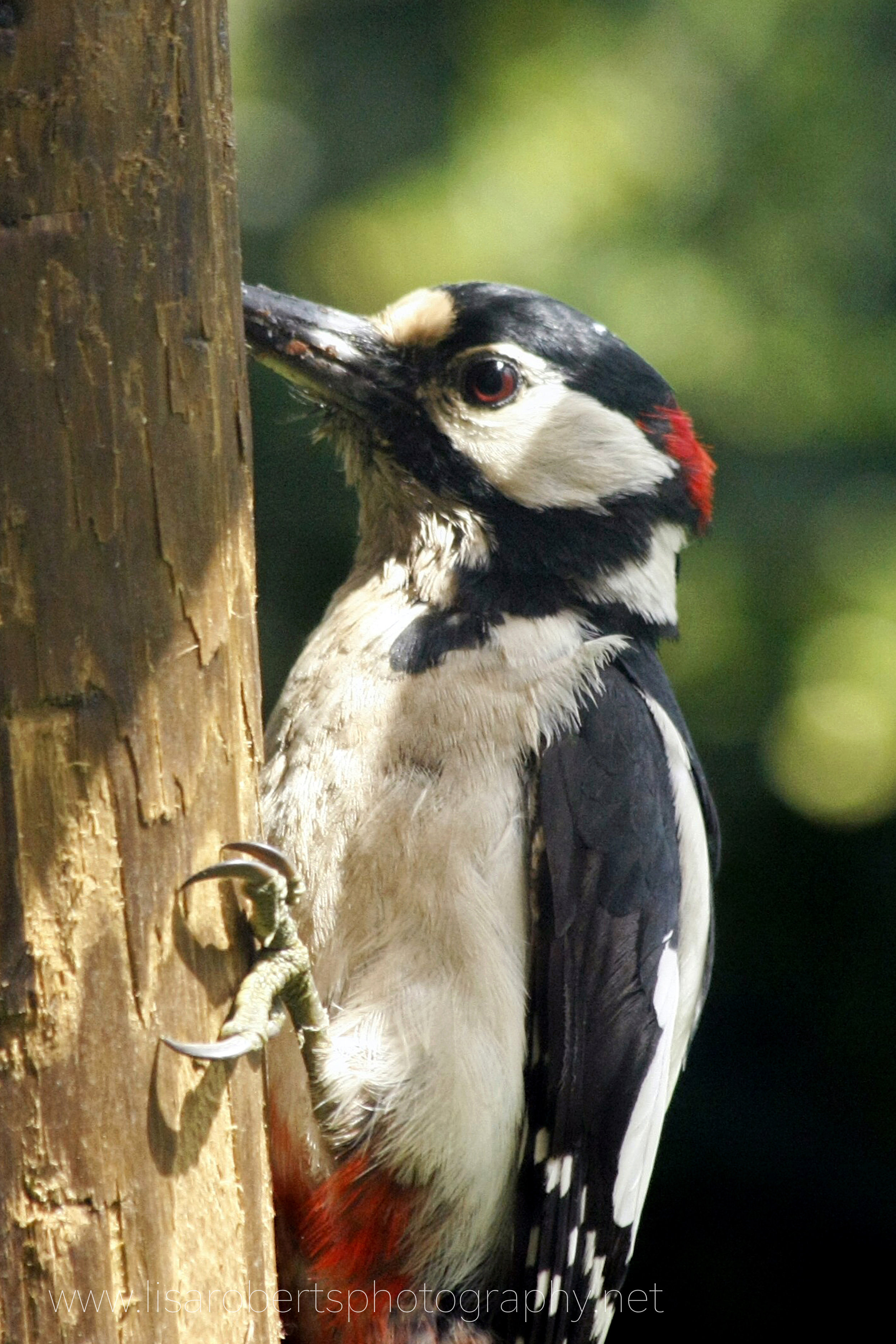 Pied Woodpecker