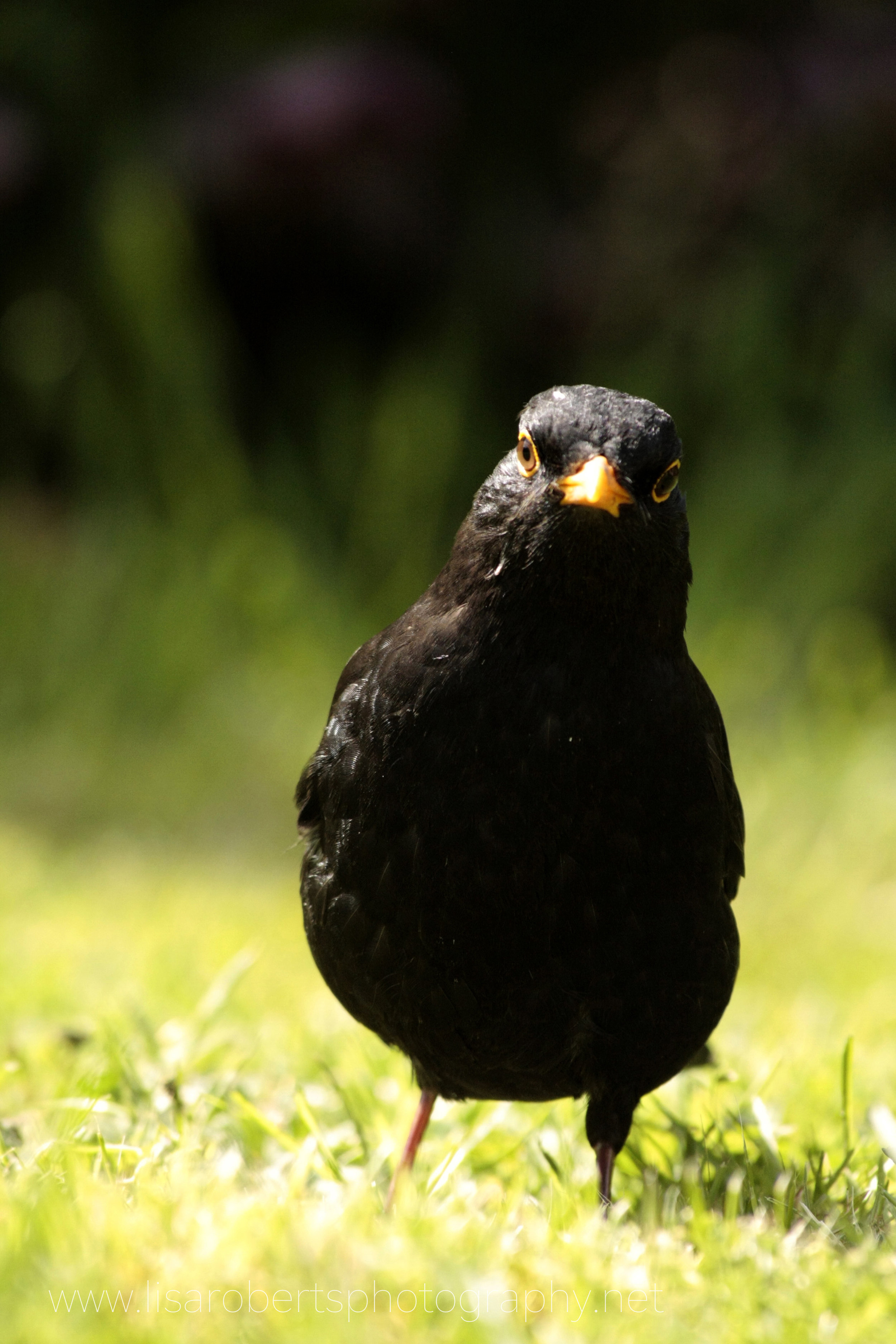 Male Blackbird face on