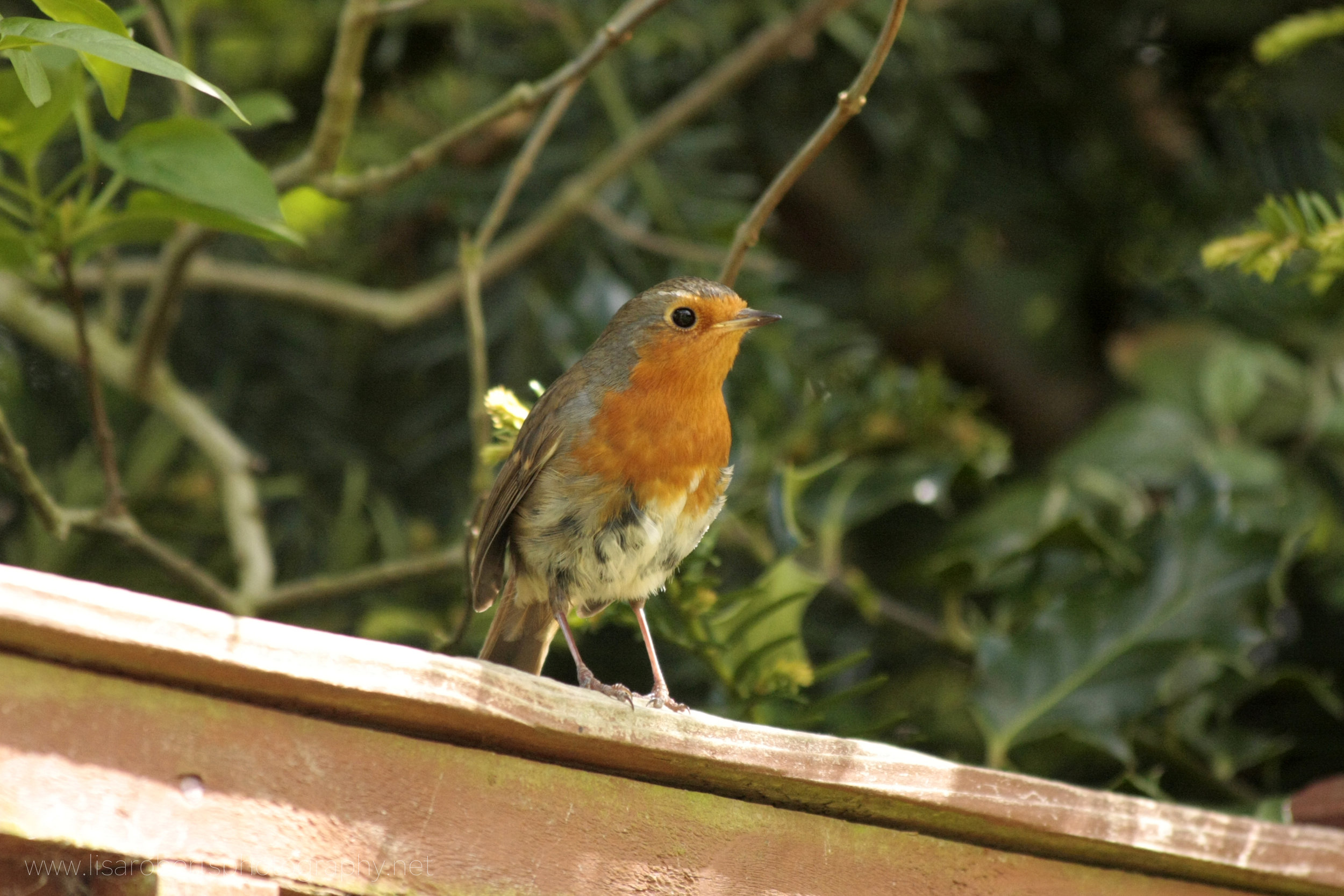 Male Robin on fence
