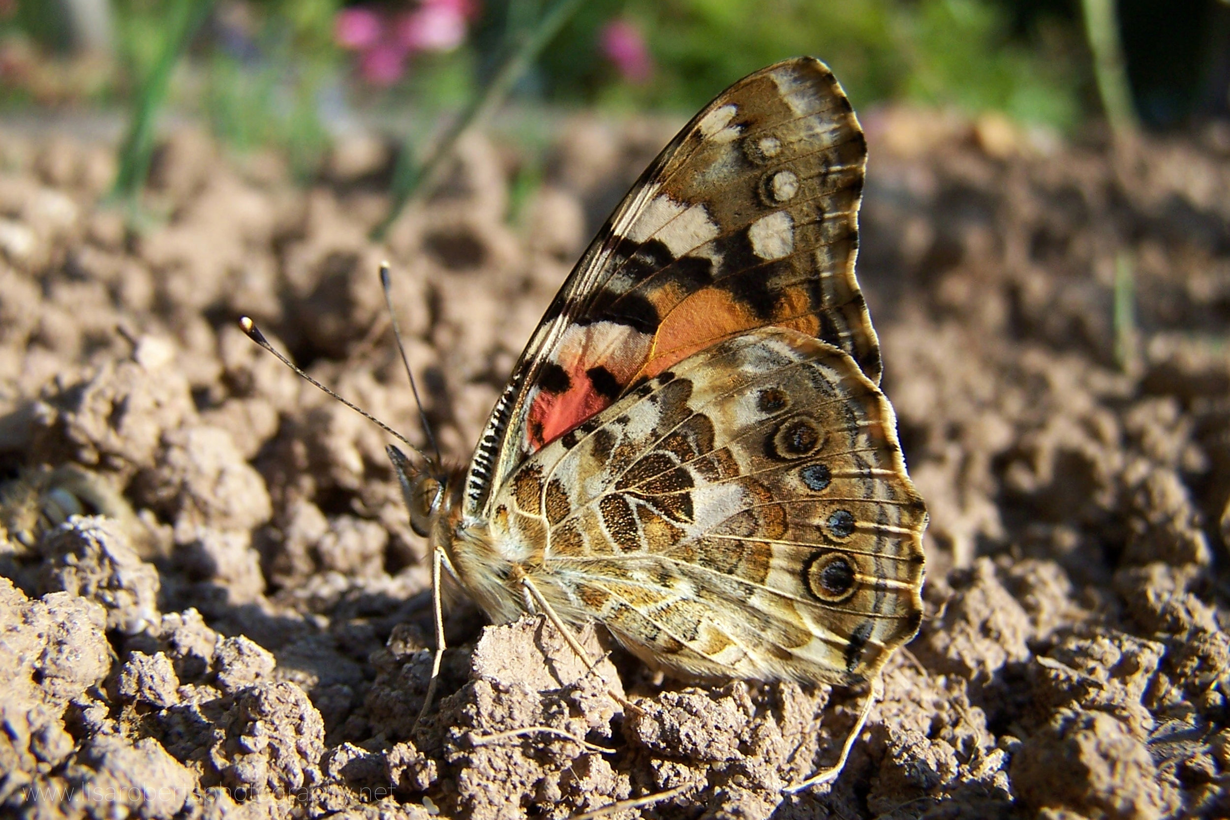 Painted Lady Butterfly, wings closed