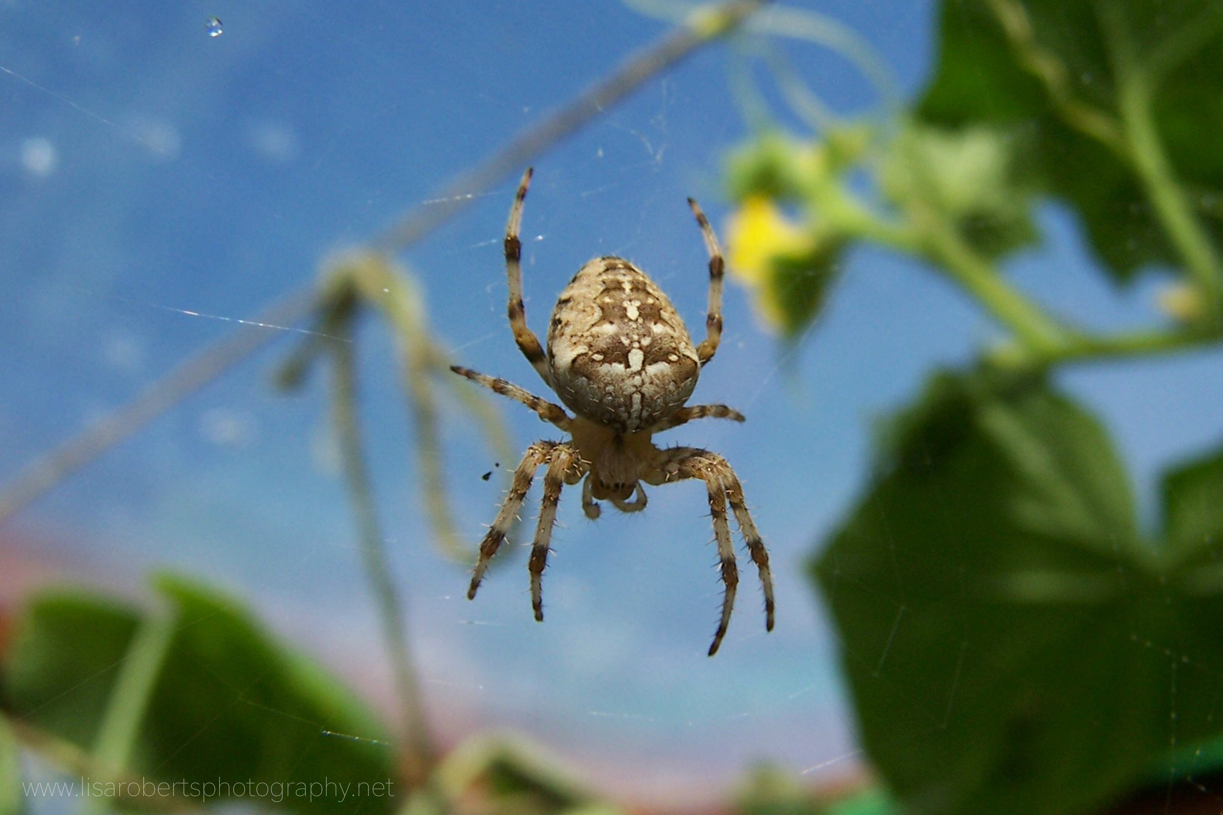European Garden Spider on web