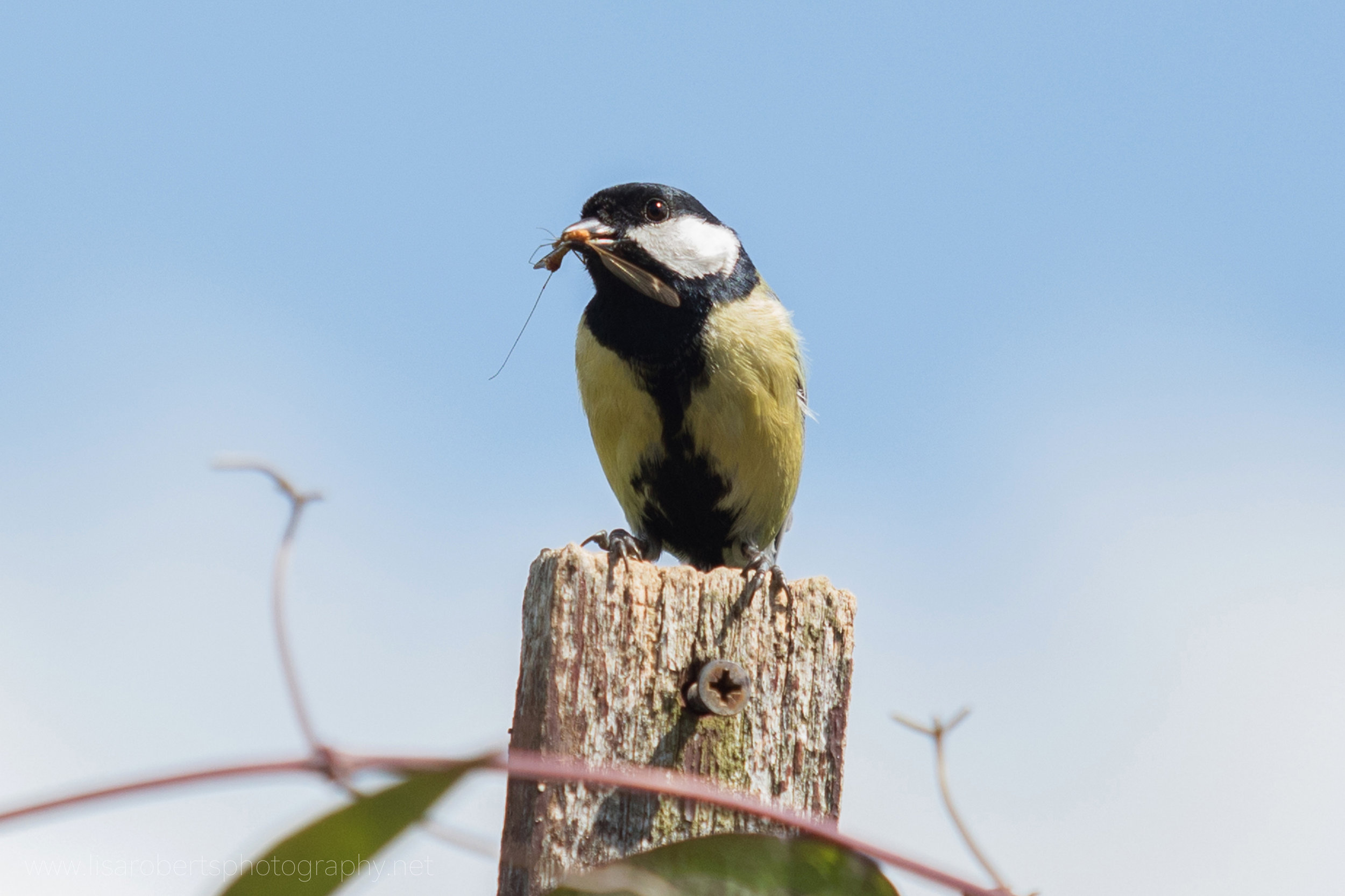 Male Great tit with Crane Fly