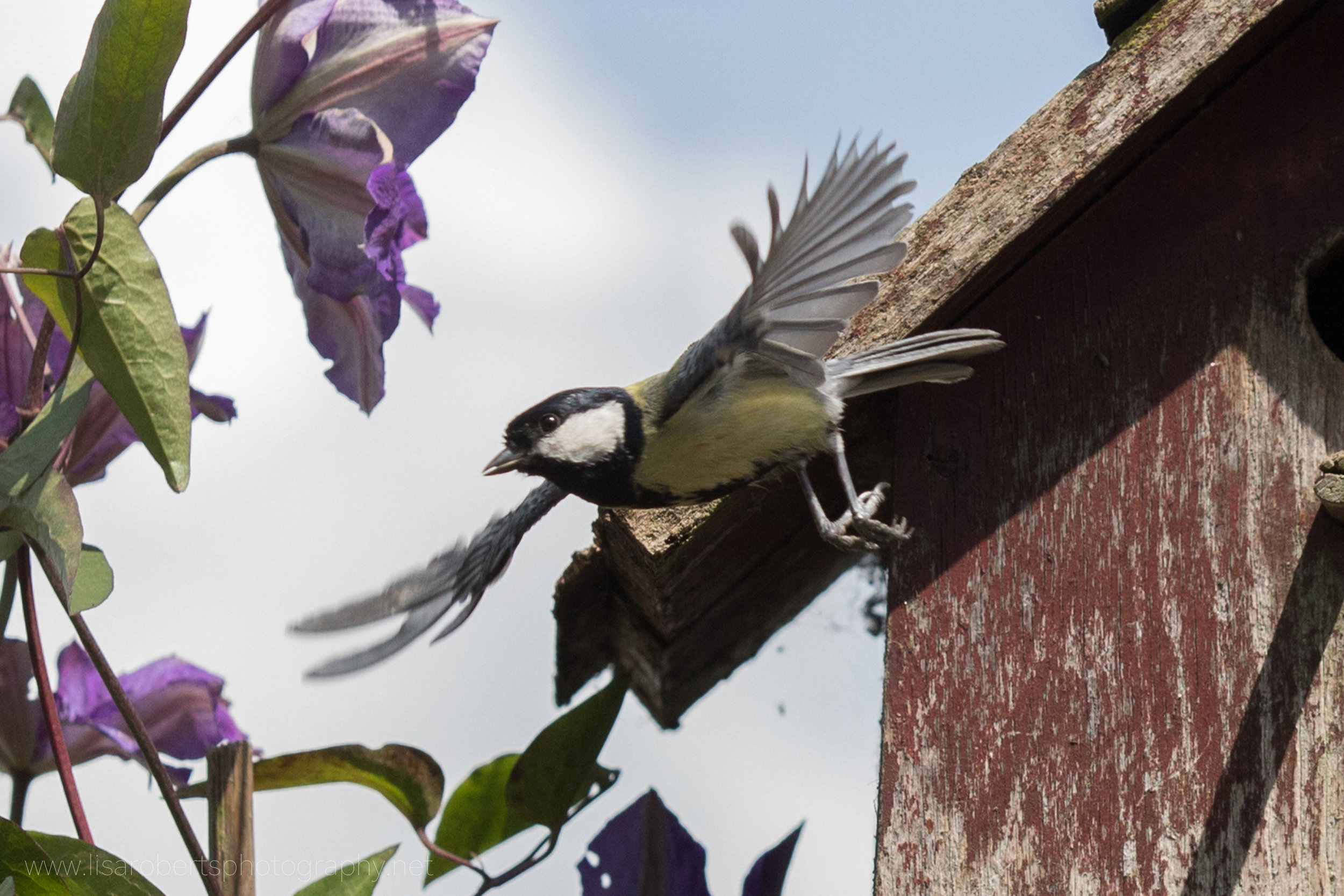 Male Great Tit in flight