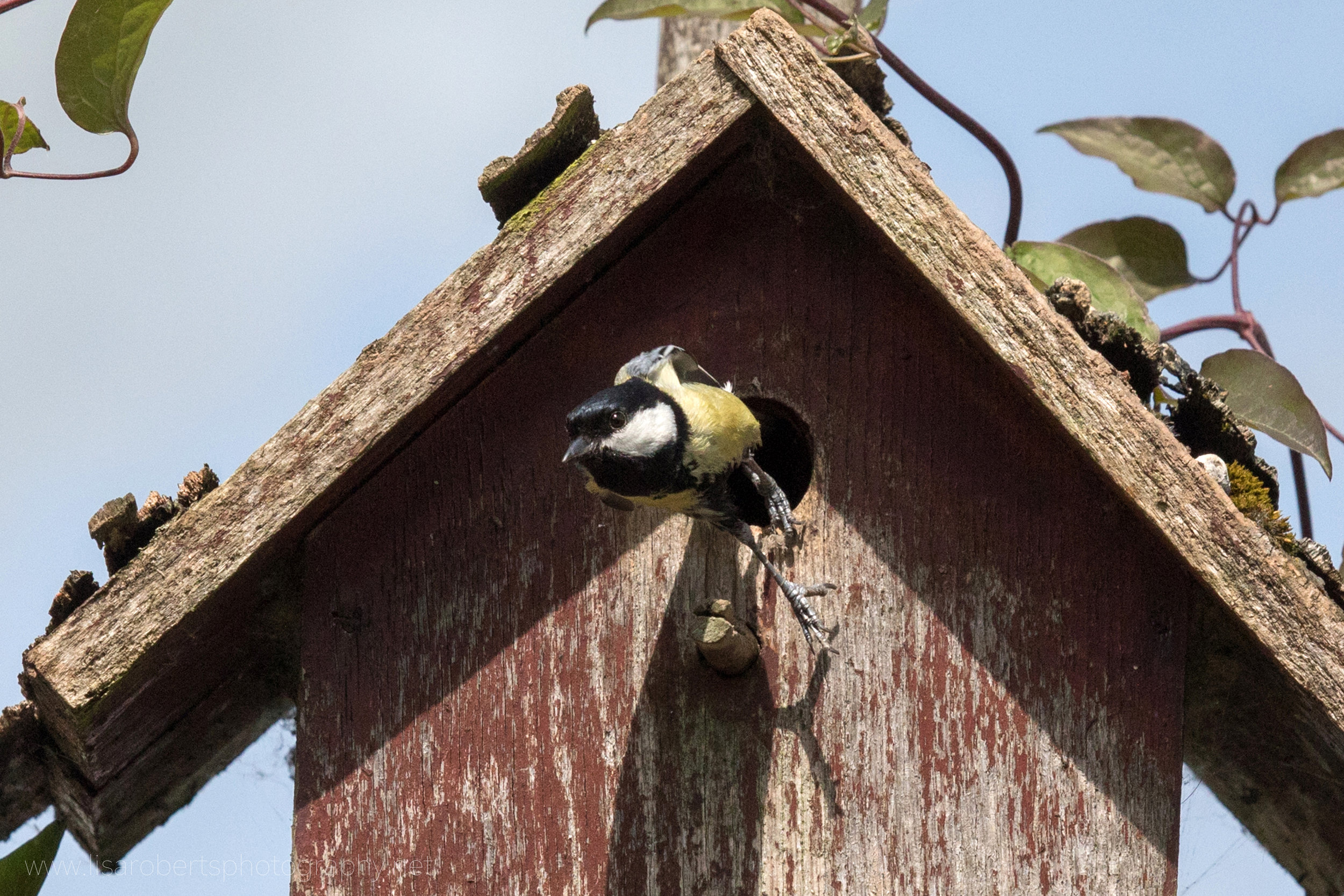 Male Great Tit leaving nest box