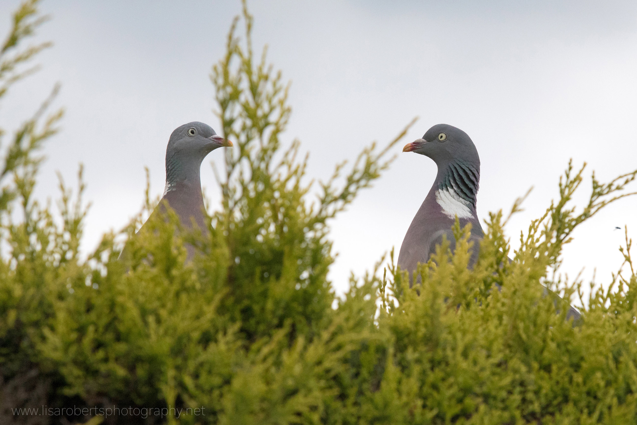 Wood Pigeons flirting on hedge!