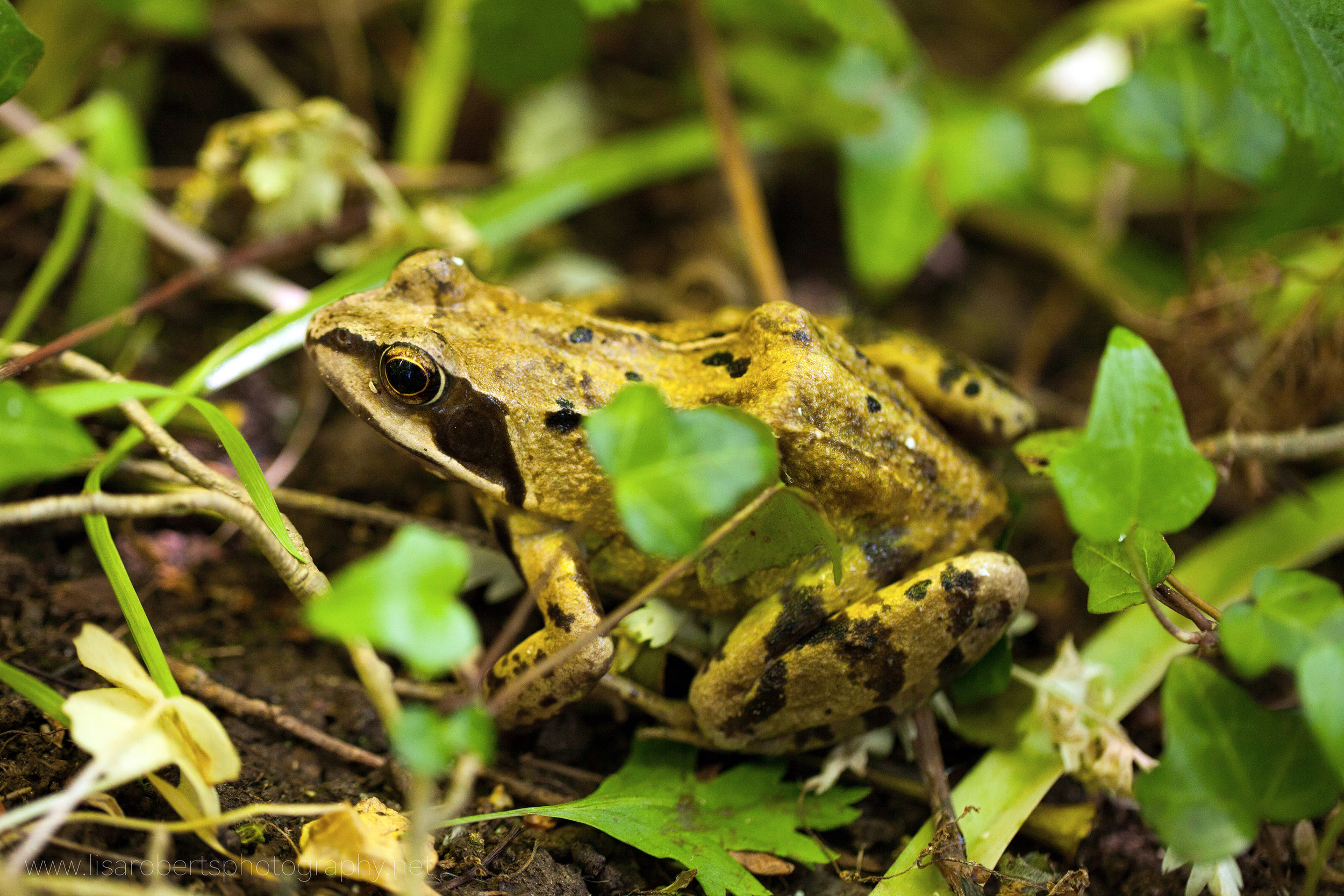 Common Frog in ground ivy