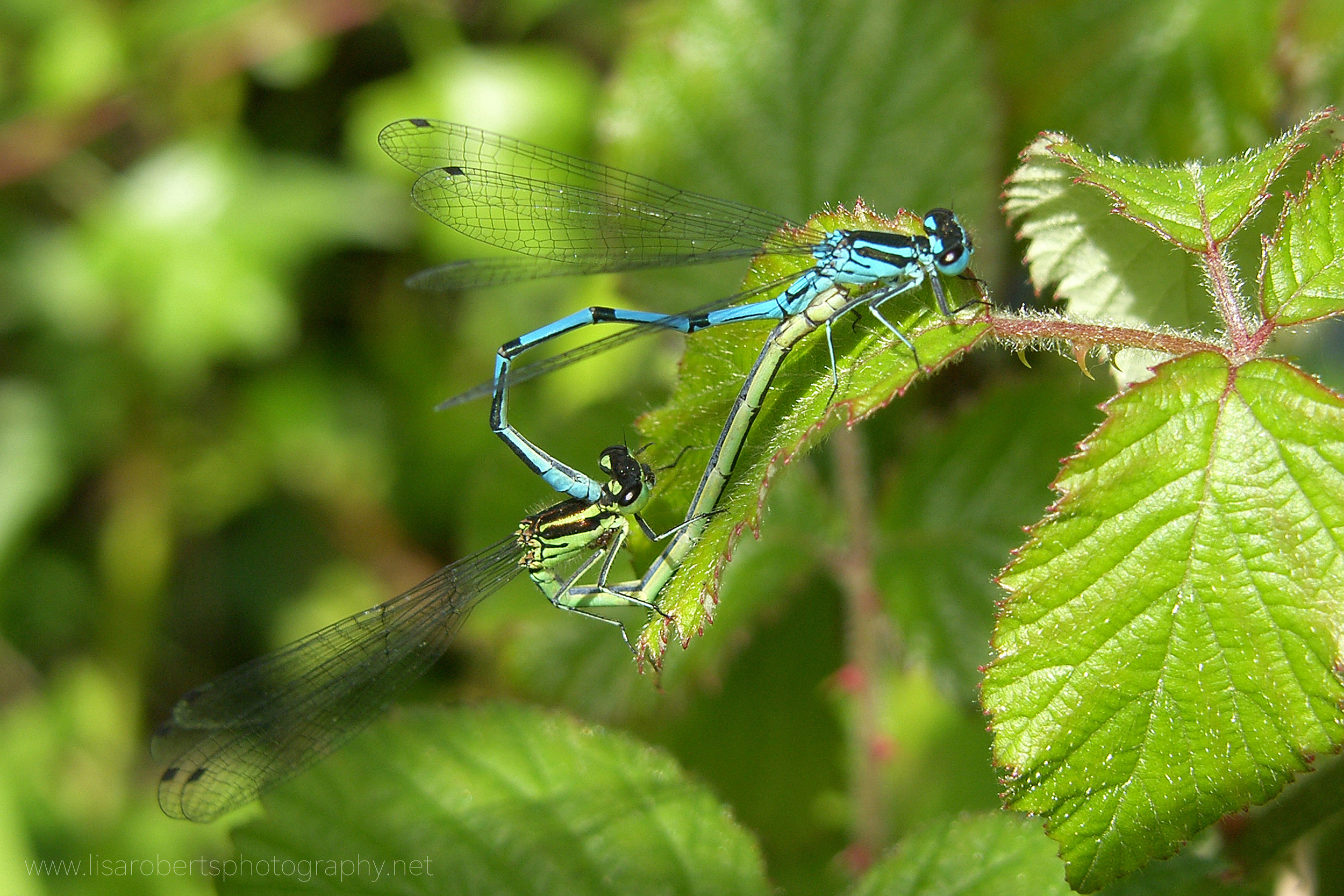 Northern Damselflies mating