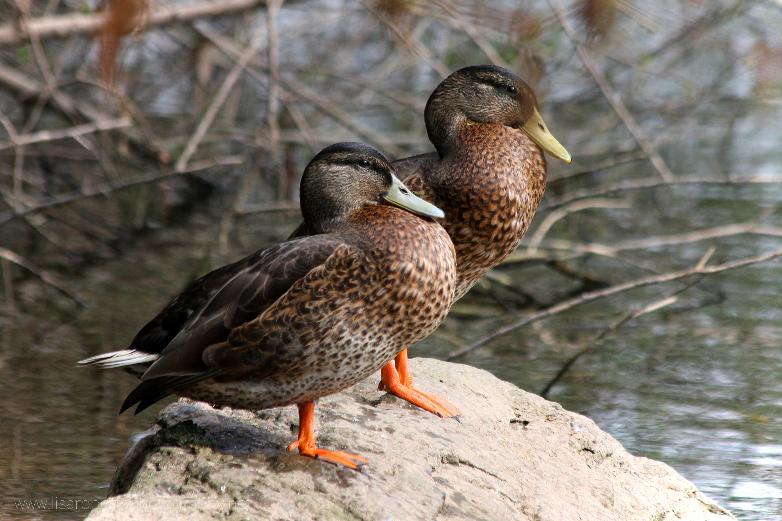 Pair of female Mallard Ducks