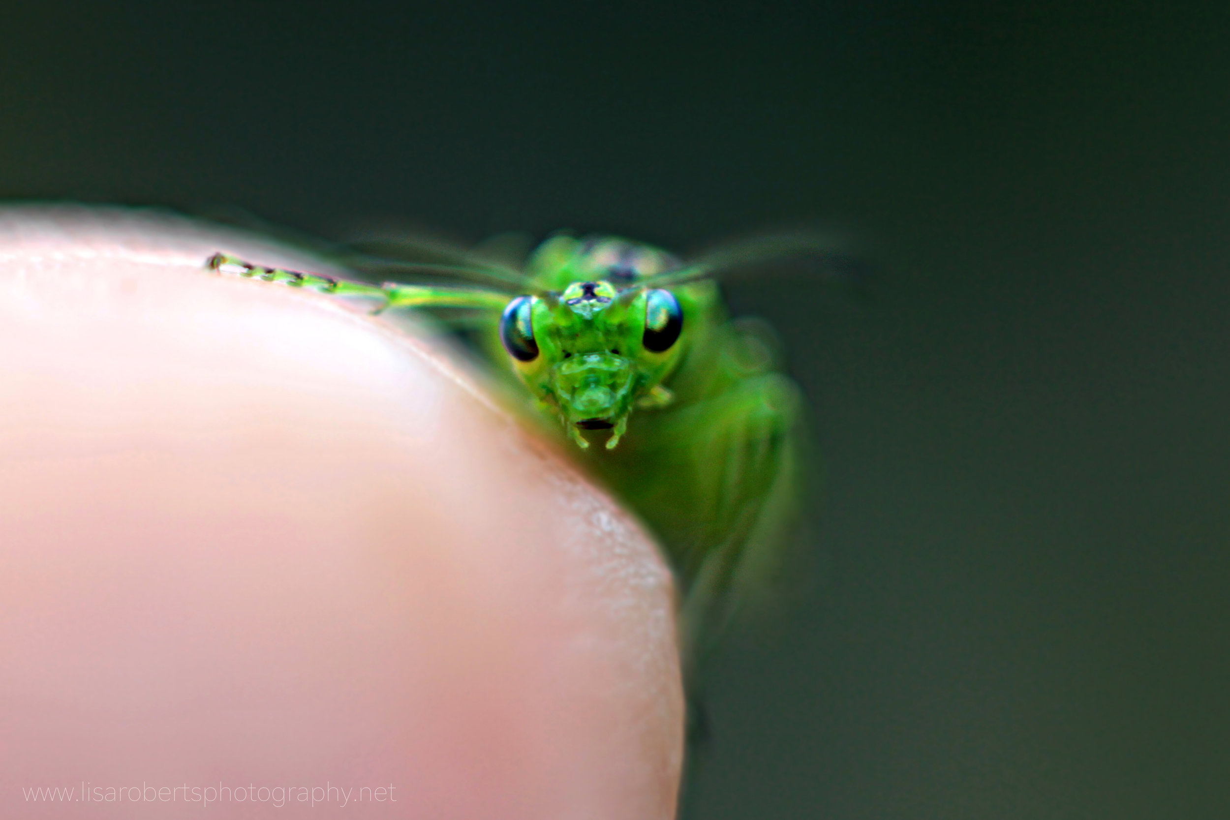 Green Sawfly on finger tip