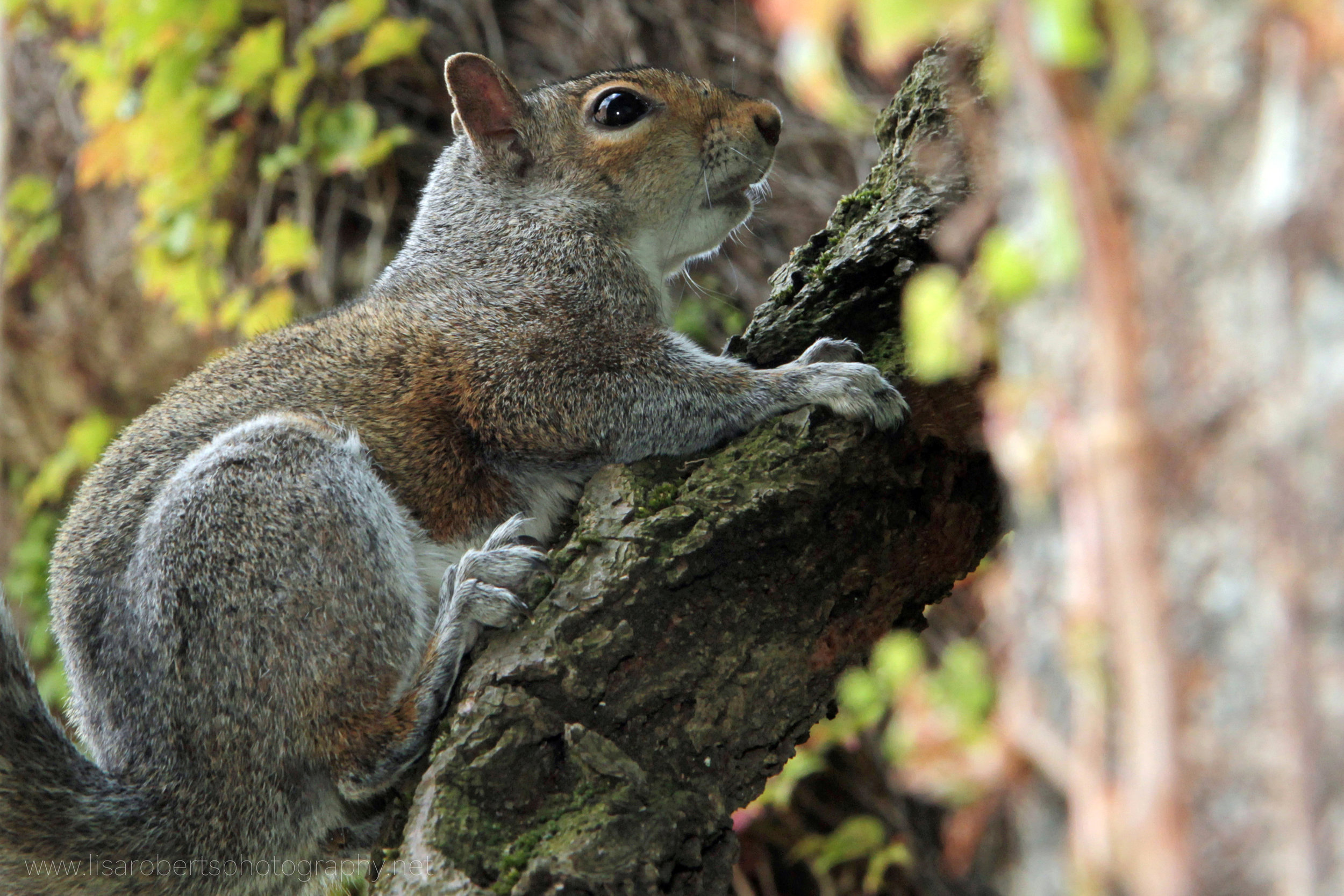 Grey Squirrel on Ivy branch