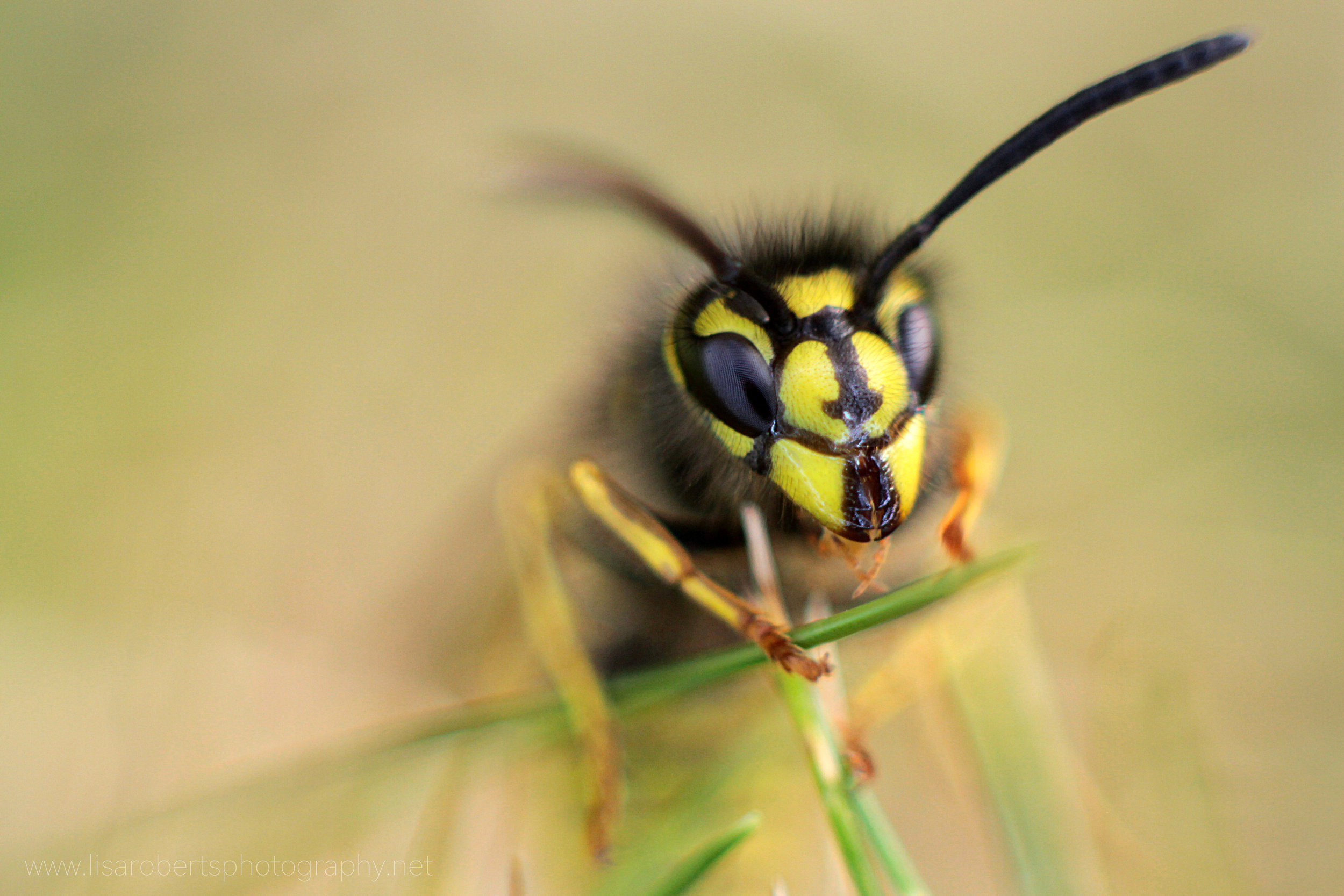 Wasp front view