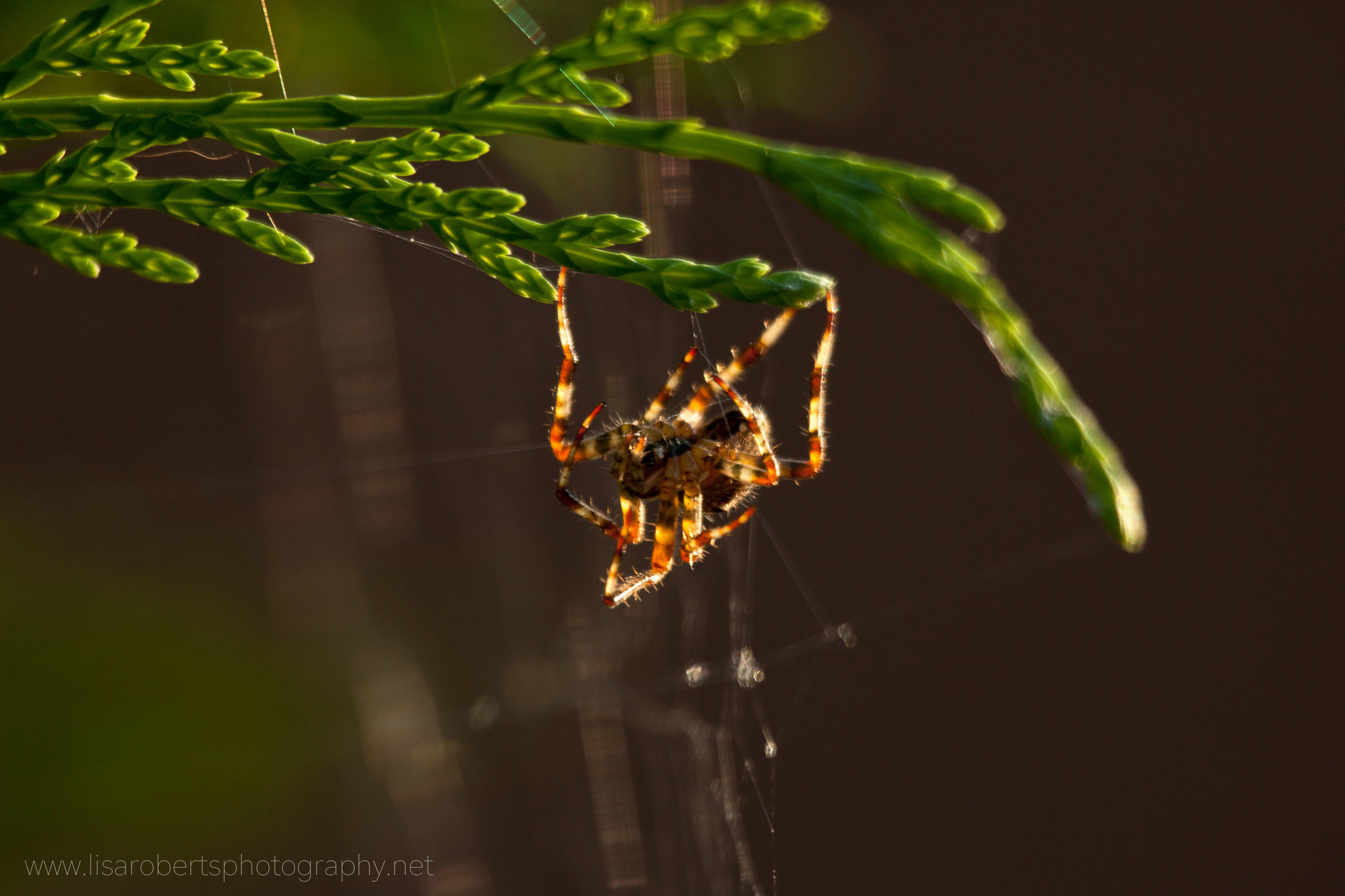 Garden Spider upside down on Conifer hedge