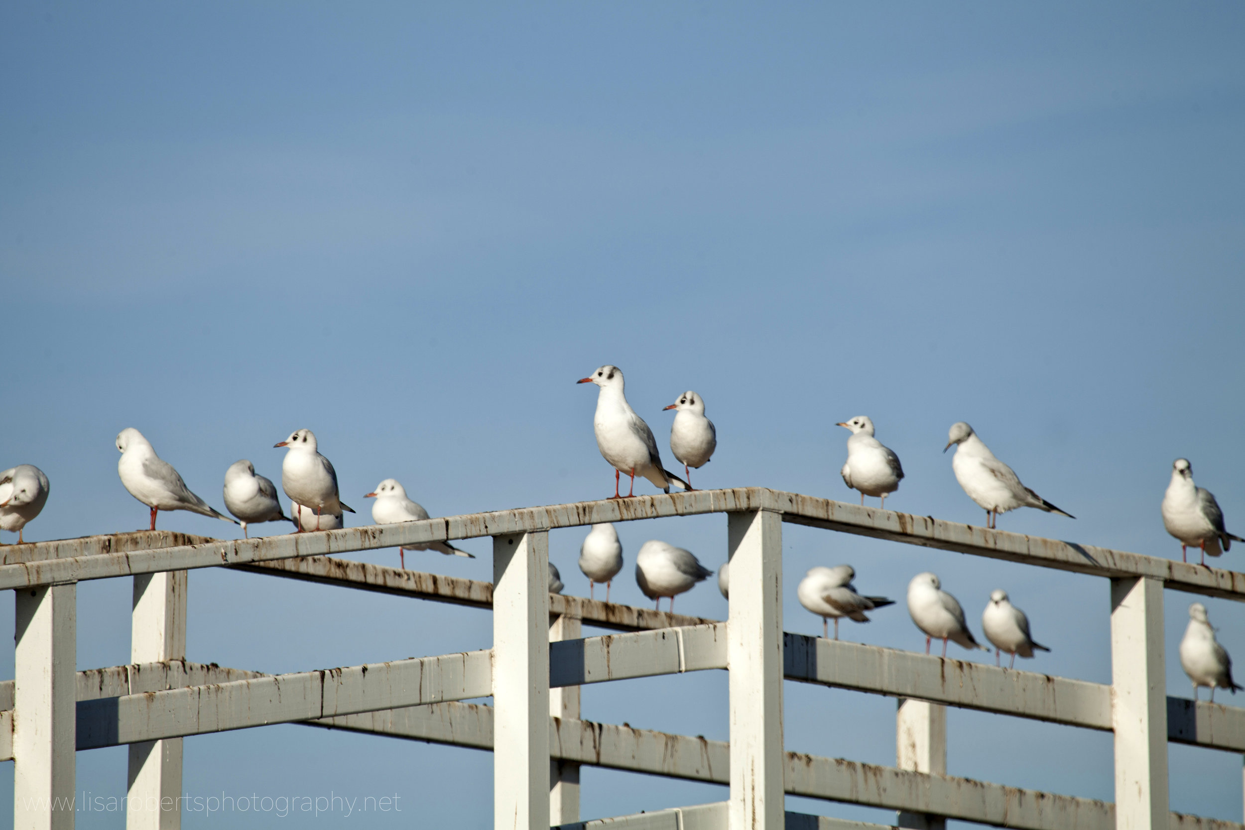 Black-headed Gulls on bridge