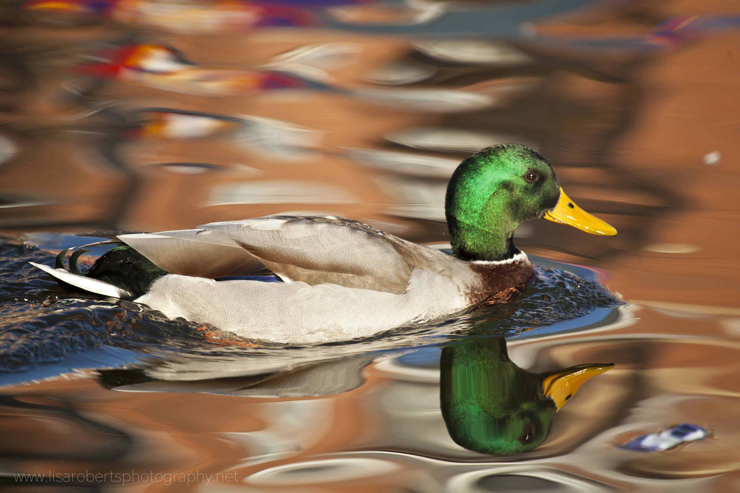 Male Mallard reflected